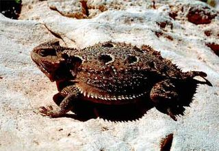 Short-horned-lizard